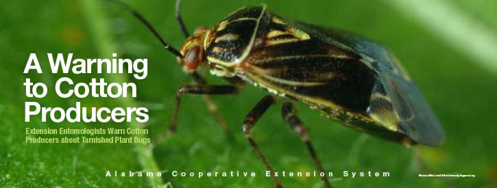 A Warning to Cotton Producers: Extension Entomologists Warn Cotton Producers About Tarnished Plant Bugs