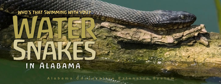 Who's That Swimming With You? Water Snakes in Alabama