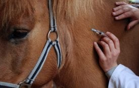 Giving a horse a vaccine of ivermectin.
