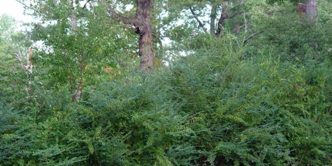 Chinese Privet bush
