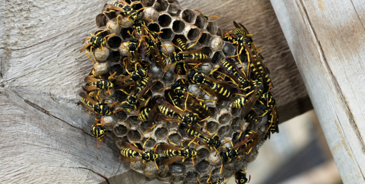 Wasps are one type of spring pests