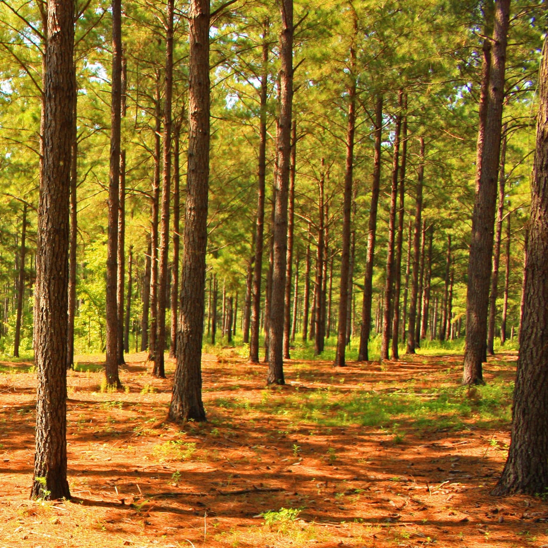 pine tree stand