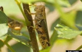 Differential species grasshopper feeding on a plant.
