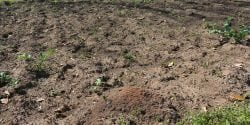 Fire ant mound in a tilled garden.