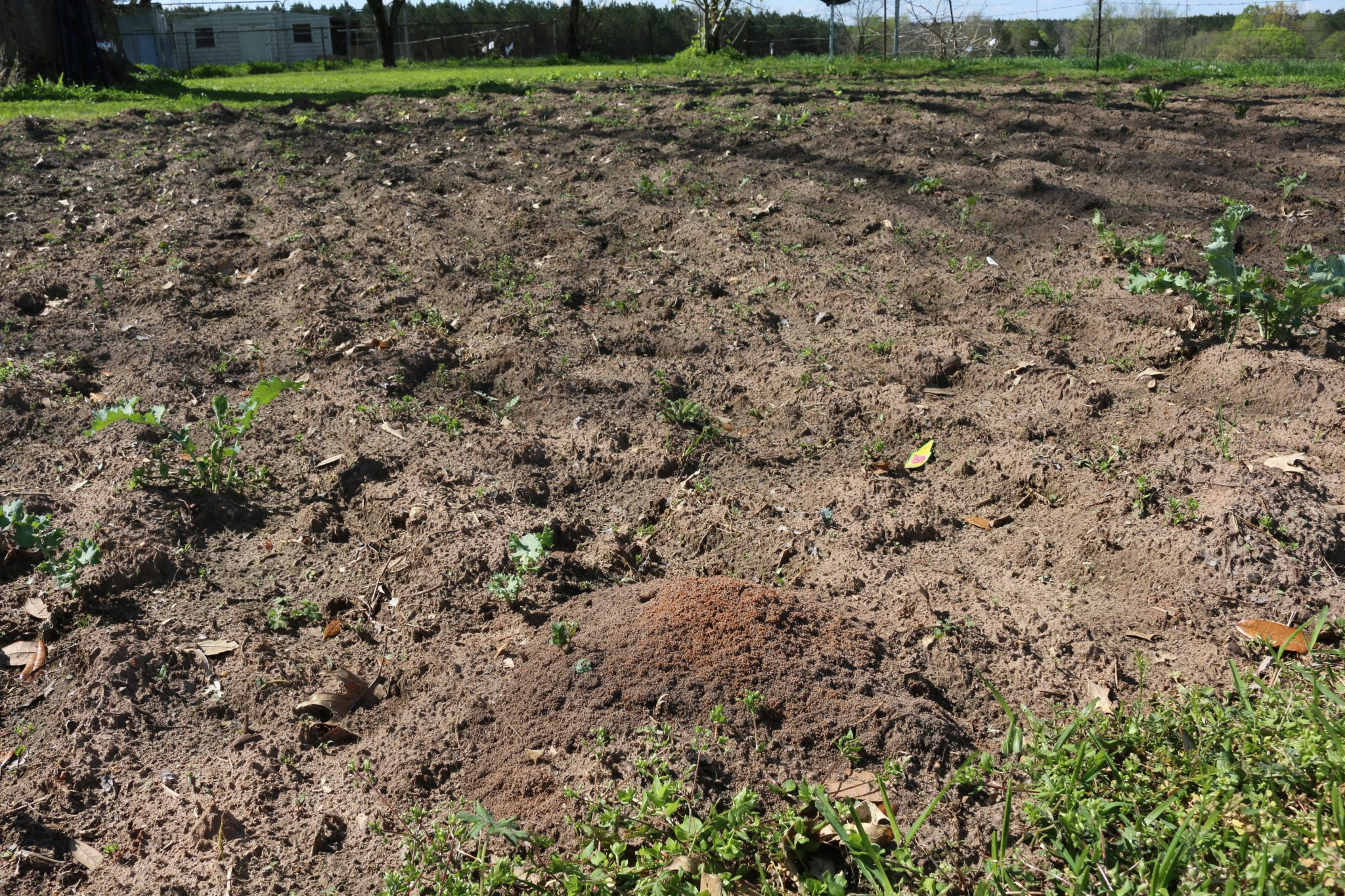 Controlling Fire Ants in Vegetable Gardens - Alabama