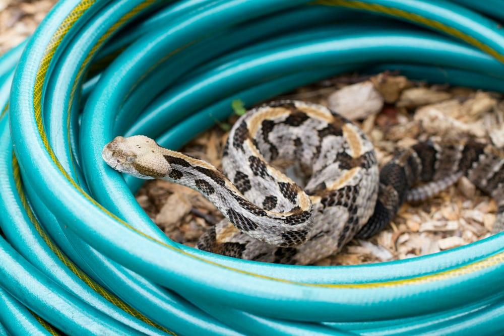 Rattlesnake in garden hose
