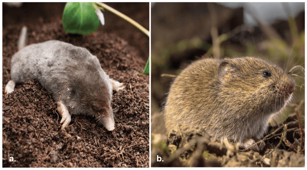 Figure 1. The mole (a) is related to the shrew. It has a long nose and webbed front feet with sharp claws for digging. The vole (b), in the rodent family, is smaller and has a short tail and legs.