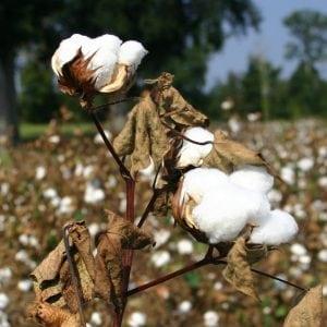 close-up of cotton plant