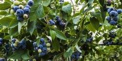 Blueberry bush on farm