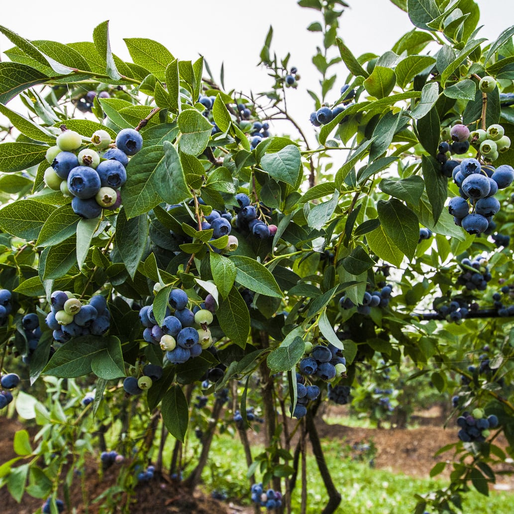 Blueberry bush on farm