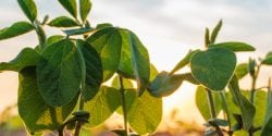 Small soybean plants growing in row in cultivated field