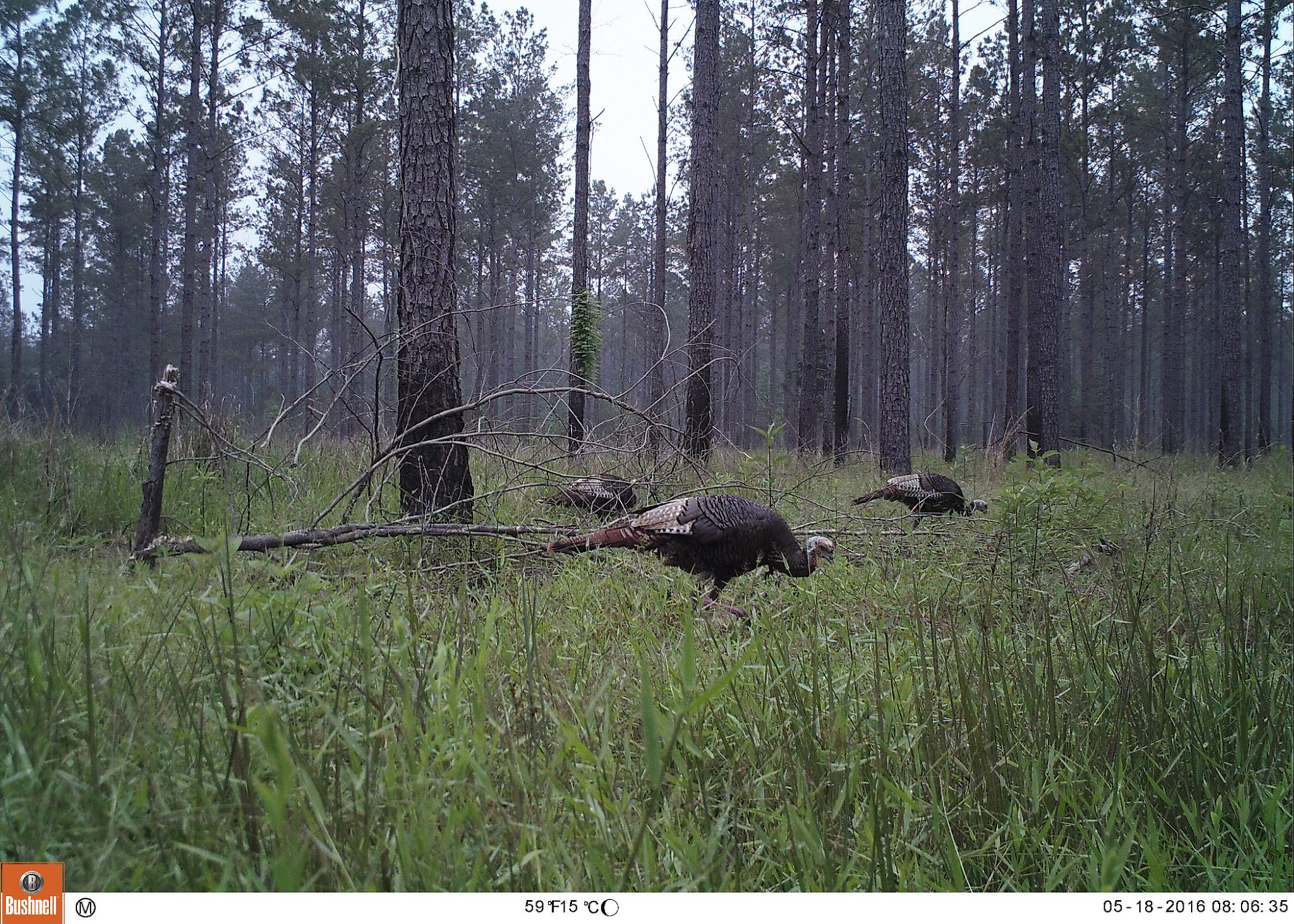 In pine-dominated forests, thinning and prescribed fire are important management practices for creating and maintaining turkey habitat. (Photo Credit:Don Chance Miss State)