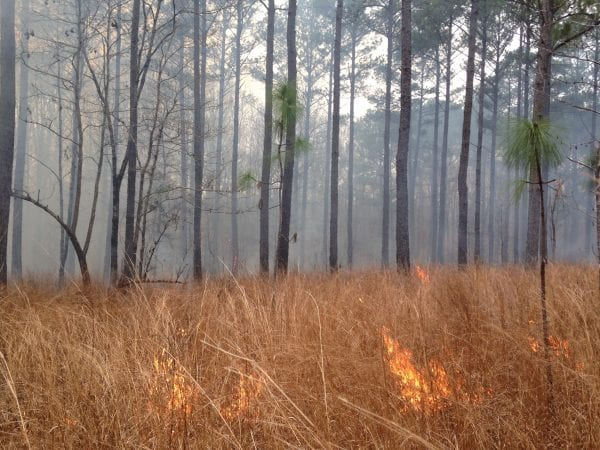 Figure 3. Prescribed fire conducted in a one-year fire return interval plot at the Mary Olive Thomas Demonstration Forest in Auburn, Alabama.