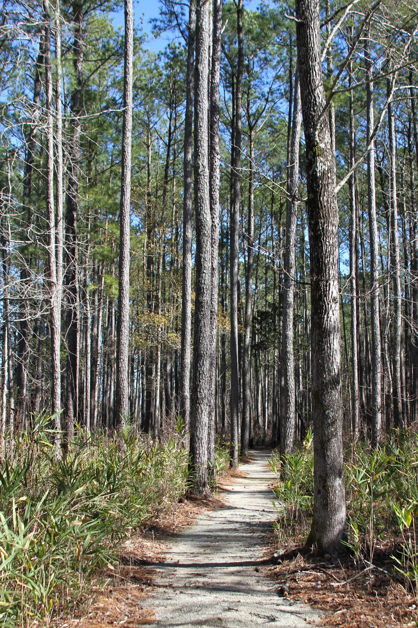 Hiking trail through a long leaf pine forest