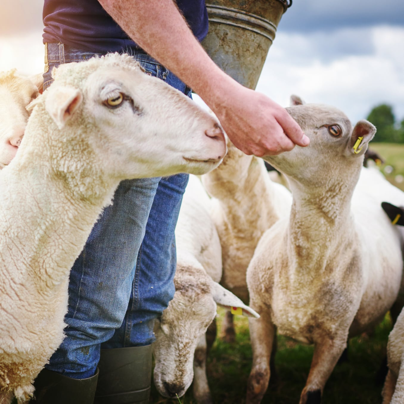 farmer feeding a herd of sheep on a farm