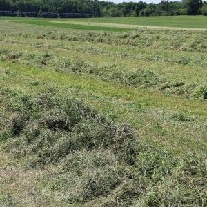 Raked alfalfa hay.