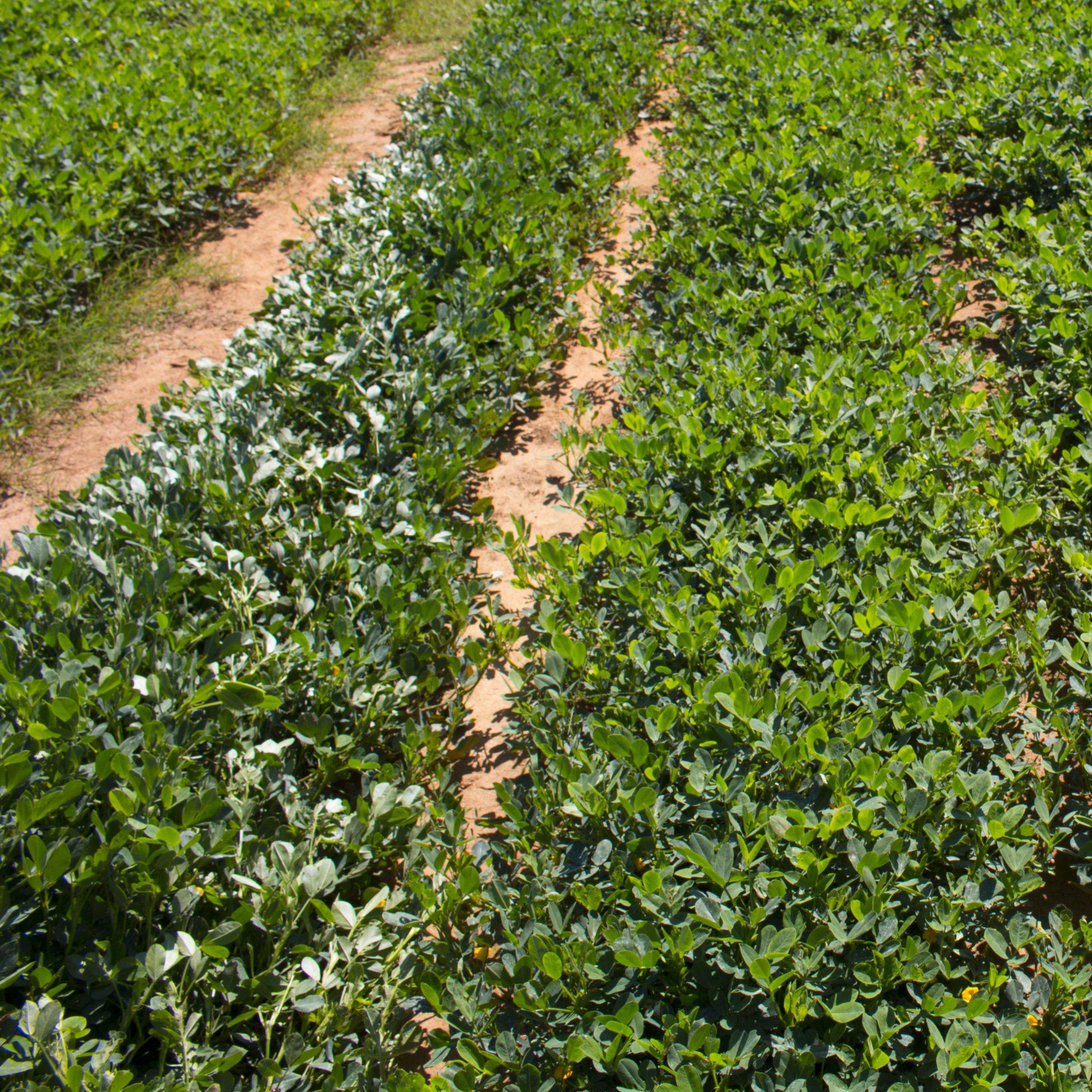 rows in a peanut field