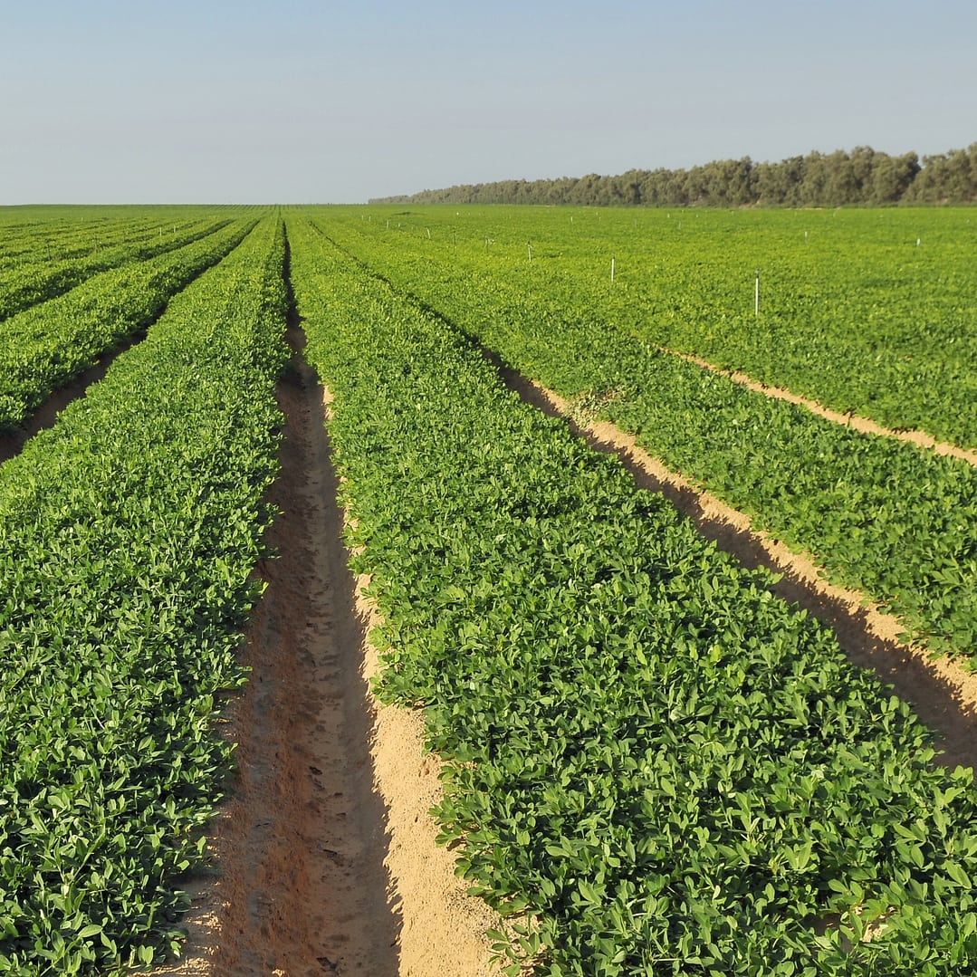 fields of peanut plants