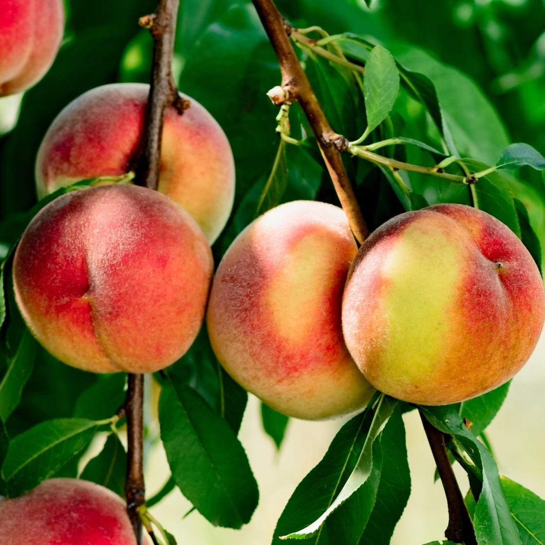 Ripe peaches on tree