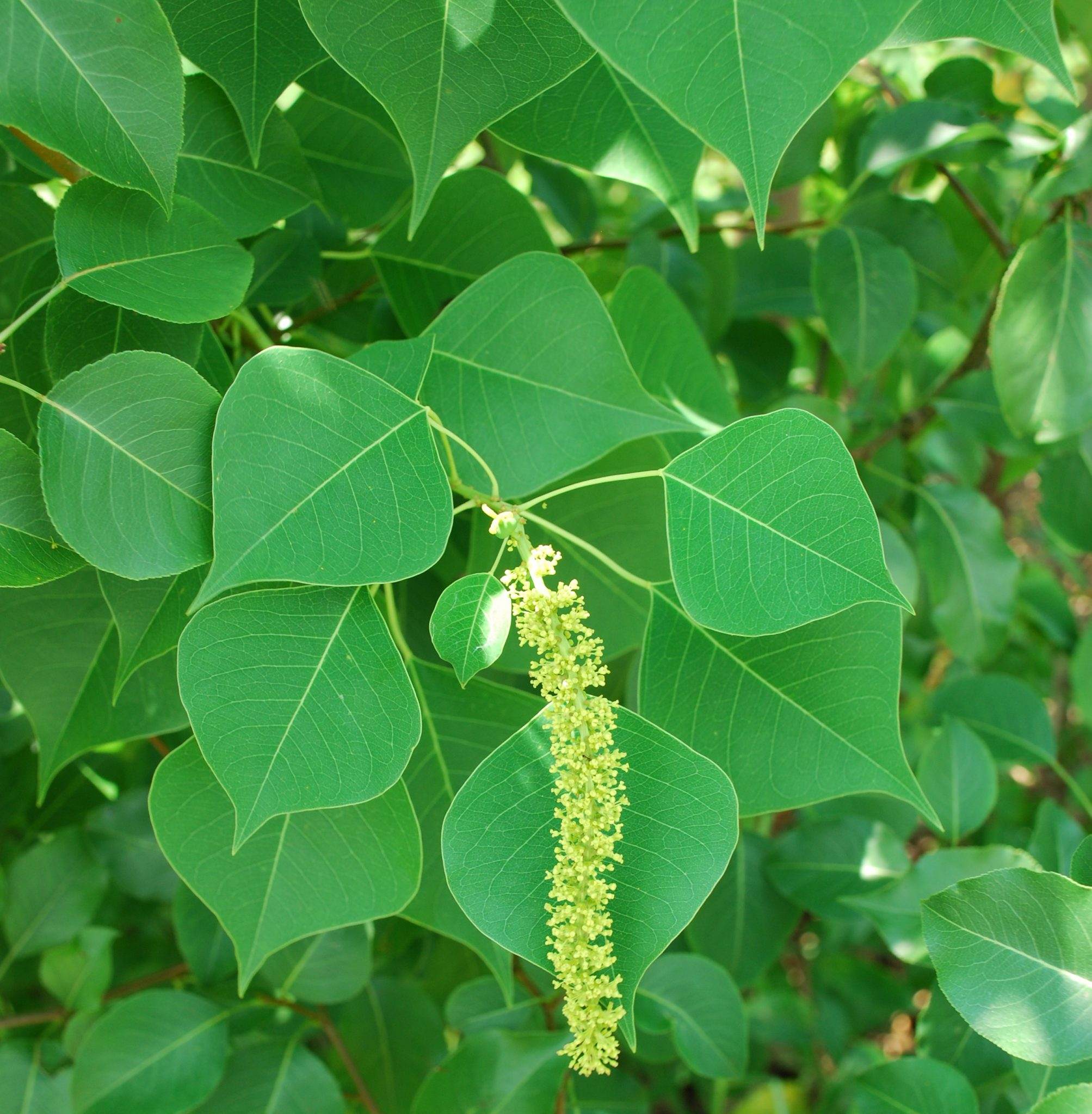 Chinese Tallowtree