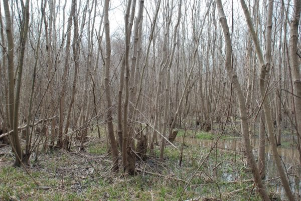 Dense stands of tallowtree are especially common near rivers. Note that many of the stems are from stump sprouts.