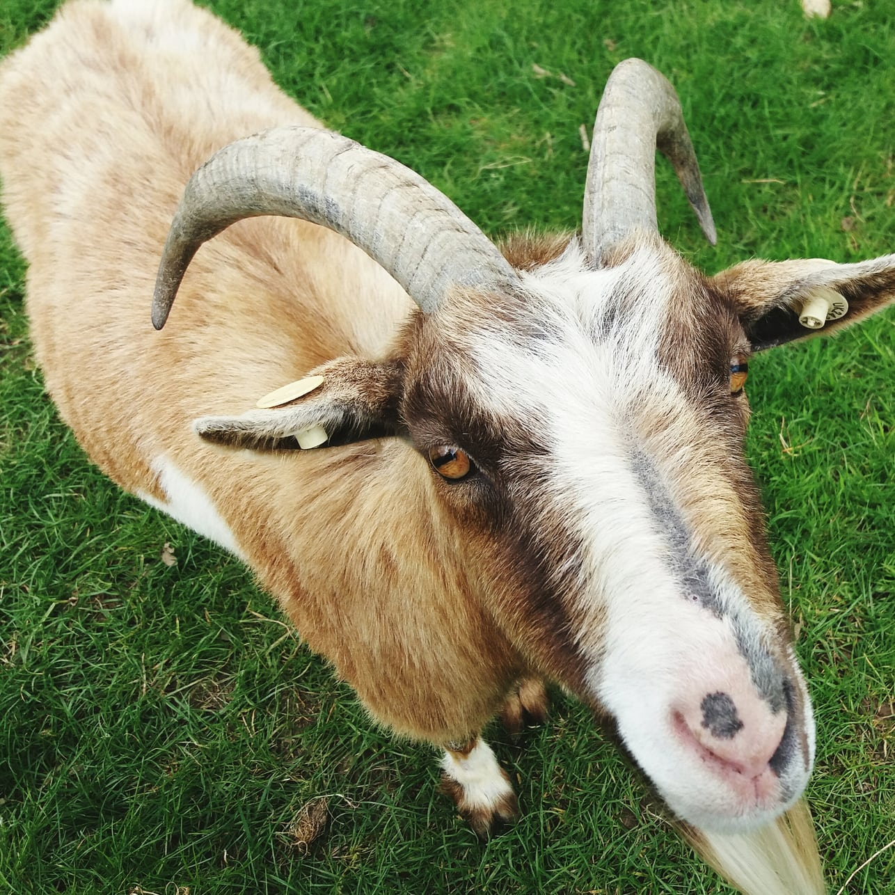 close-up of goat from a high angle