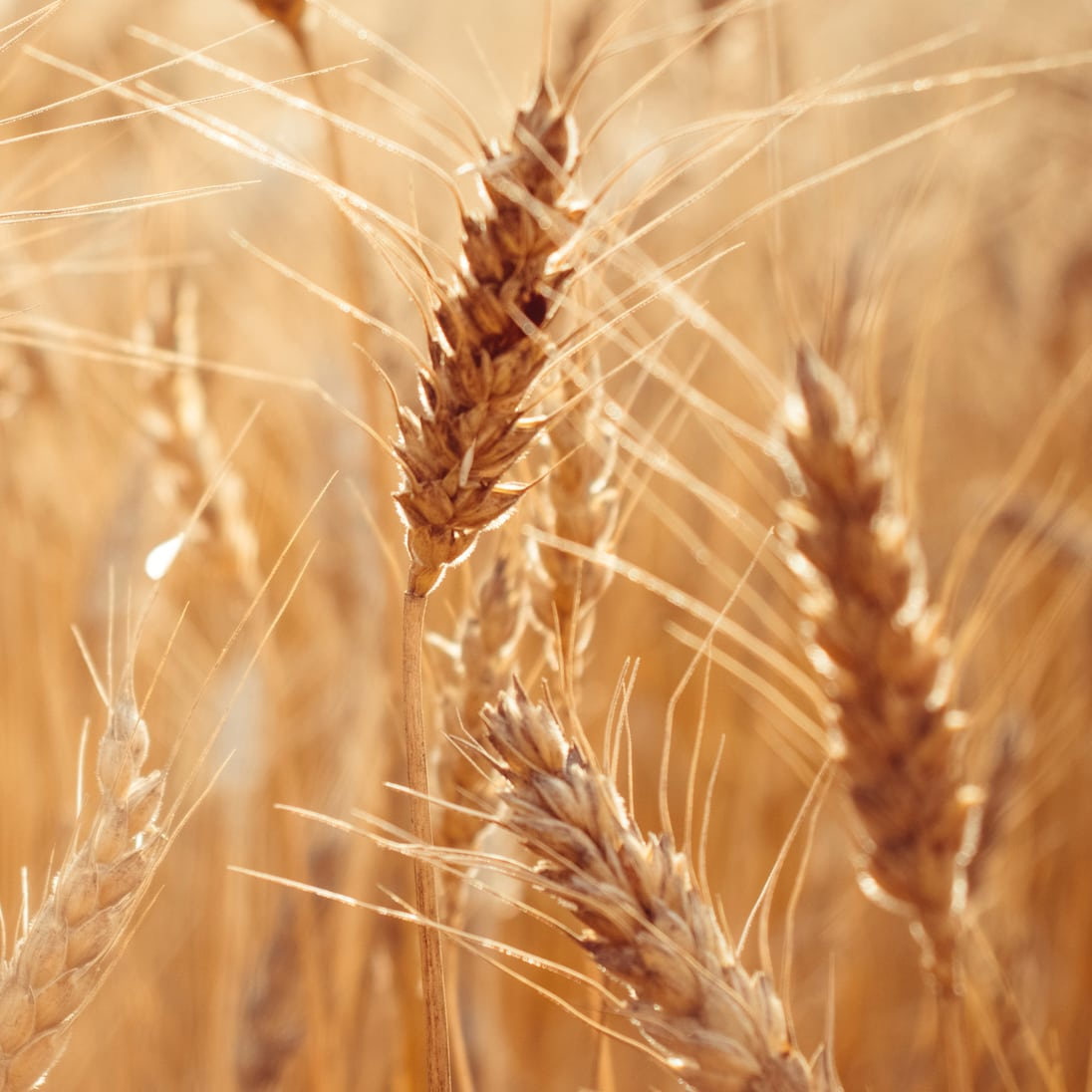 Close-up of wheat growing in a field