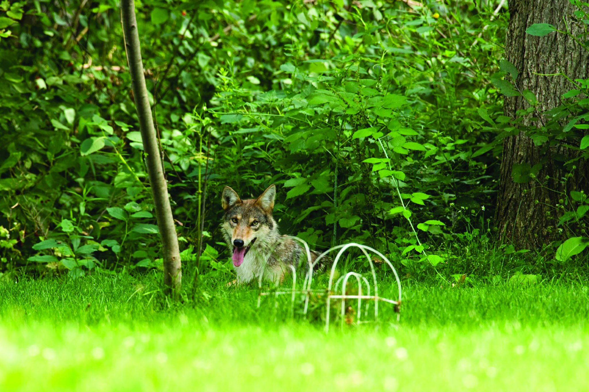 Urban Coyote catches Cat