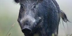 Wild boar walking in fog