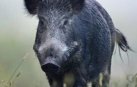 Wild boar walking in fog