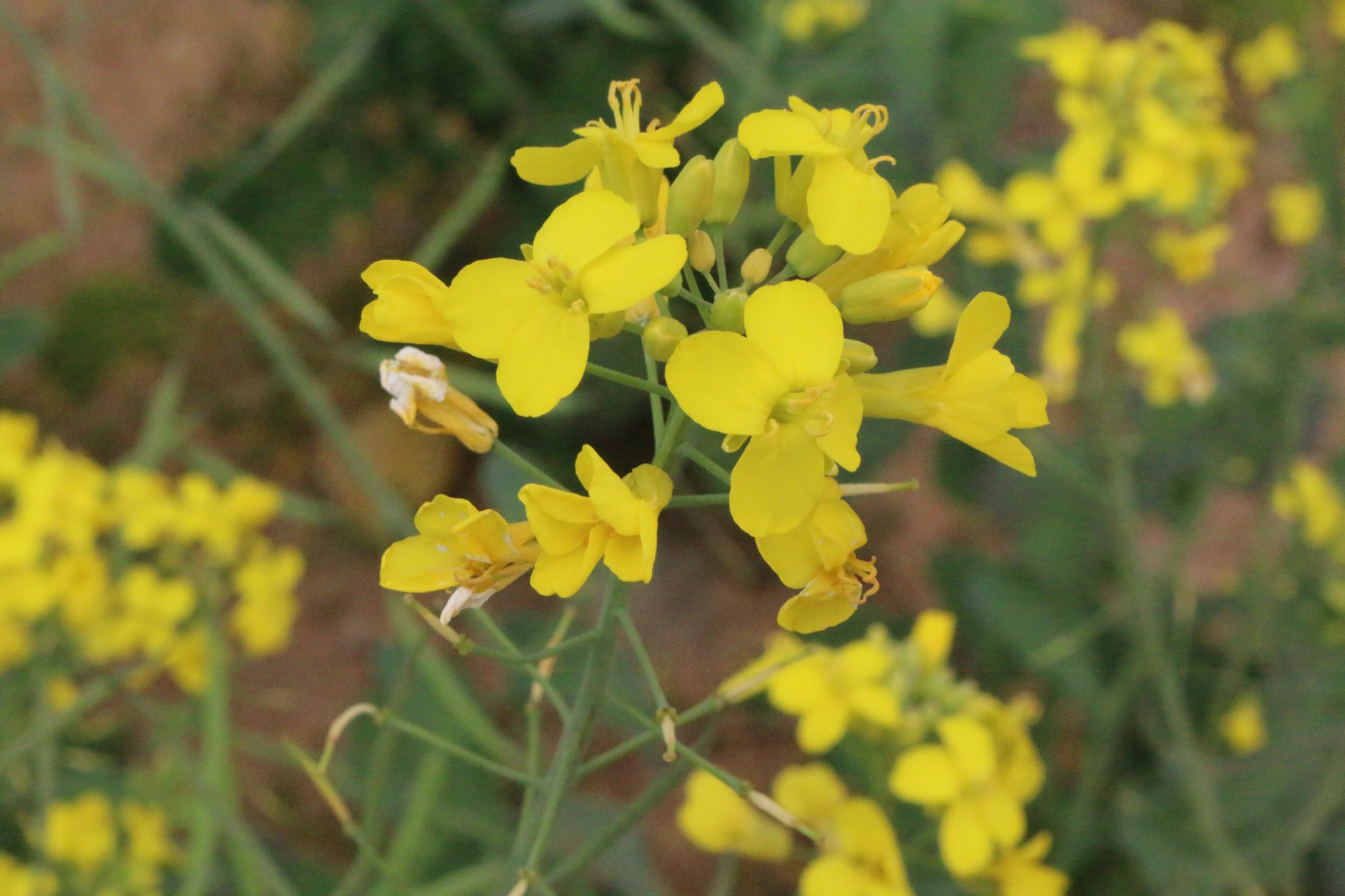 Canola is an alternative cover crop for producers.