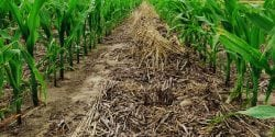 Corn plants thriving in heavy residue. Residue also helps with weed suppression.