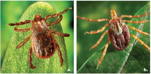Figure 2: a. Brown dog tick b. Gulf Coast tick Photos courtesy of the Centers for Disease Control and Prevention, James Gathany