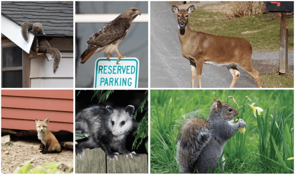 Top Left: While some species are content to live near you, others may try to live with you. Top Middle: Some birds of prey, such as this red-tailed hawk, can live within city limits. Top Right: White-tailed deer are common in some suburban areas. Bottom Left: Red foxes may live next to or under your house. Bottom Middle: Opossums are frequent backyard visitors. Bottom Right: A gray squirrel is a common sight in suburban backyards.