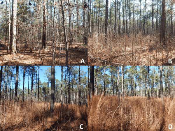 Figure 2. Structural characteristics of a southern pine forest from different intervals of prescribed burning: (A) control–no burn, (B) prescribed burn on a three-year interval, (C) prescribed burn on a two-year interval, and (D) prescribed burn on a one-year interval.