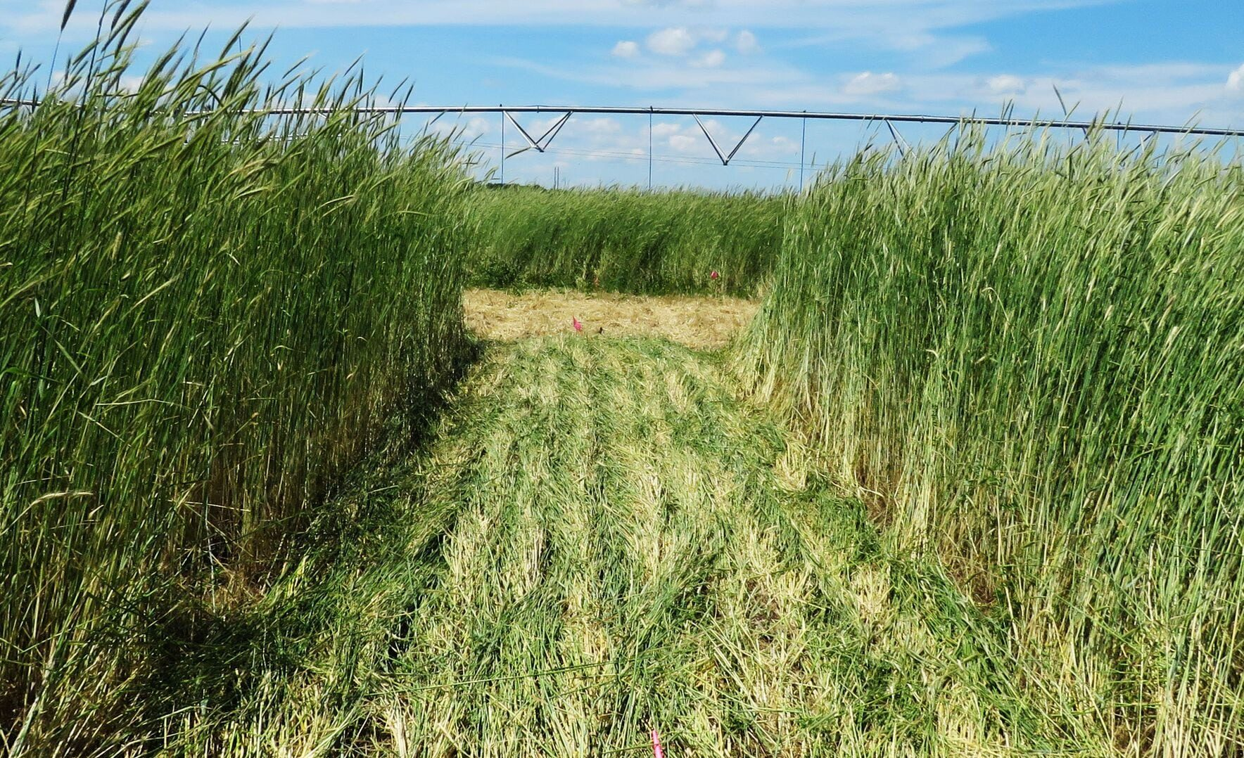 Rye that has been rolled down. Rye is a cereal cover crop.