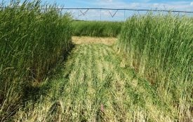Rye that has been rolled down. Cover crops provide natural disease suppression.