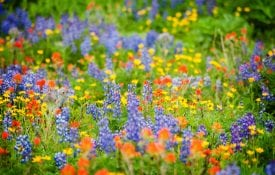 A meadow of wild flowers.