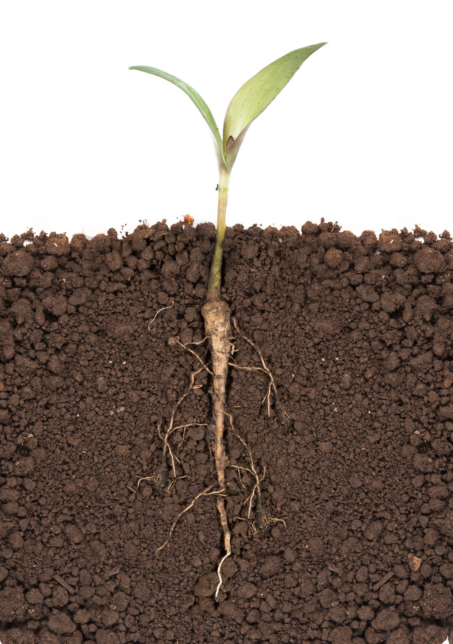 Seedling plant with roots exposed. Photo by shutterstock.com/showcake.