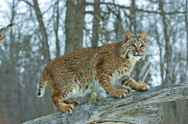 Bobcats are often misidentified as cougars. Bobcats are much smaller than cougars and have a proportionately shorter tail.