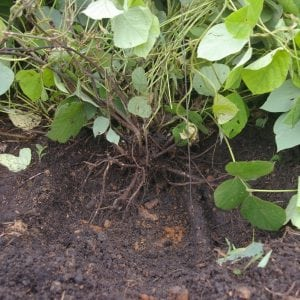 Figure 3. Kudzu roots grow down from a root crown located on the soil surface.