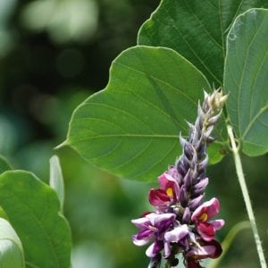 Figure 4. Kudzu flowers are typically produced on plants that are climbing or draped over vegetation or other objects. Note the kudzu bugs at the base of the flower