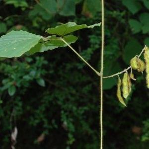 Figure 5. Kudzu fruits are flattened seed pod legumes.