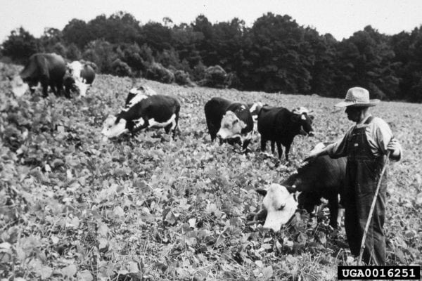 Historical photo of Kudzu from USDA
