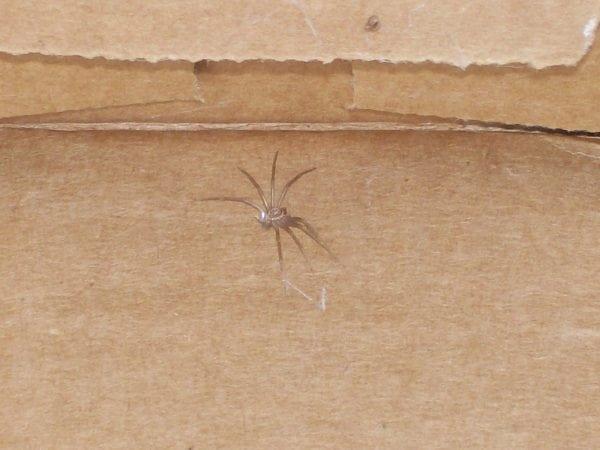 Figure 12. Closeup of a brown recluse molt.