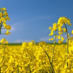 detail of flowering rapeseed canola or colza in latin Brassica Napus, plant for green energy and oil industry, rape seed on blue sky background. shutterstock.com/Daniel Prudek.