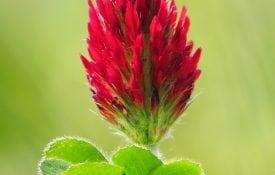 Crimson clover (Trifolium incarnatum). shutterstock.com/Luka Hergonja