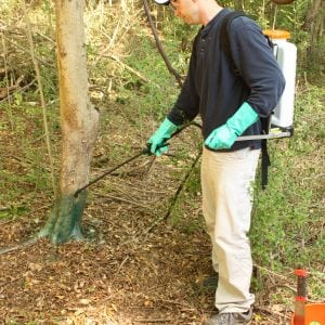 Figure 7. Chinese privet is very thin barked and even large diameter shrubs can be controlled with the basal bark treatment method.