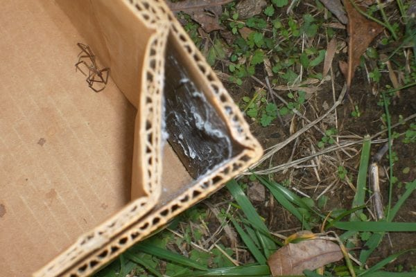 Figure 11. A good example of a brown recluse's discrete, flat web. Note the dead brown recluse inside the box.