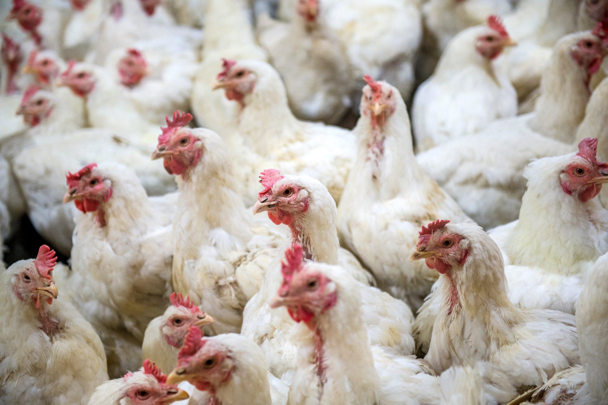 White chickens on farm